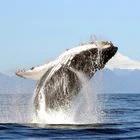 A humpback whale jumps off a volcano in Chile.  R. Hucke-Gaete (UACH / CBA)