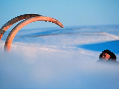 Bernard Buigues observa los colmillos de un mamut hallados en Siberia en 1999.AP
