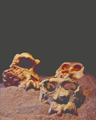 Los cráneos de 'Pau' y 'Jordi' (derecha), junto a otro hominoideo de Grecia. I. C.-V.