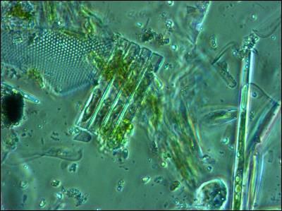 El fitoplancton es el equivalente a la vegetación terrestre.