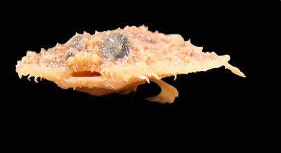 Golfo de México No es una tortilla de camarones, es un pez. 'Halieutichthys intermedius'.
