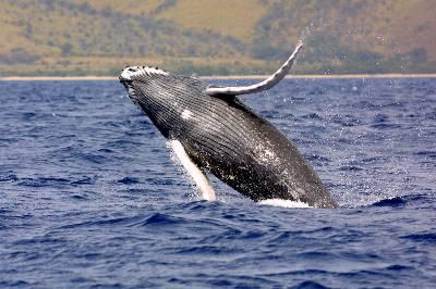 Protegiendo sólo 9 zonas, se daría cobijo a la mayoría de las especies, como esta yubarta o ballena jorobada.