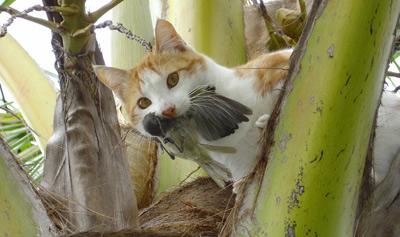 En los últimos ocho años, los gatos se han eliminado de unas 35 islas.-