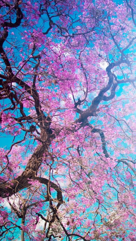 Fondos de Pantalla Árboles en Flor Primavera de Cerezo HD
