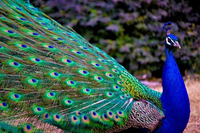 Fondo de pantalla de un pavo real