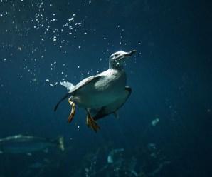 Imagenes de las Aves Marinas Murres o Araos