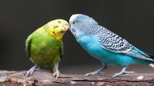 Imagenes de pericos australianos enamorados y coquetos