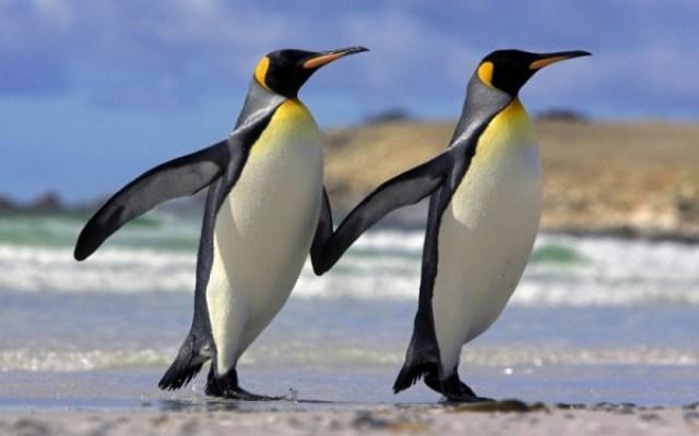 Imagenes de pinguinos enamorados