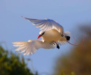 Imagenes de Pájaros Tropicales – tropicbird