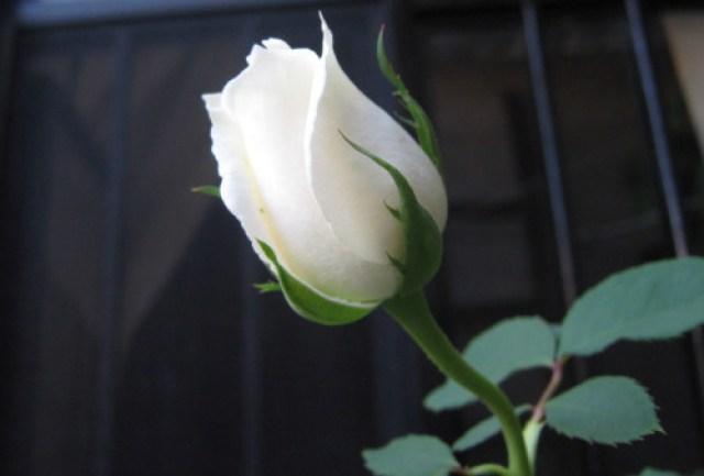 Foto de una rosa blanca para enamorar