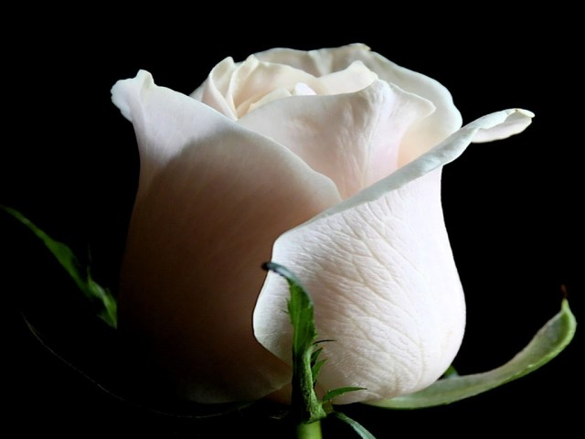 Imagen Rosa blanca con fondo negro