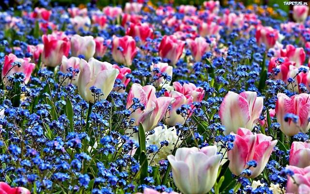 Imagenes De Campos De Flores Para Usar Como Fondo De Pantalla