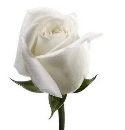 Linda rosa blanca para regalar