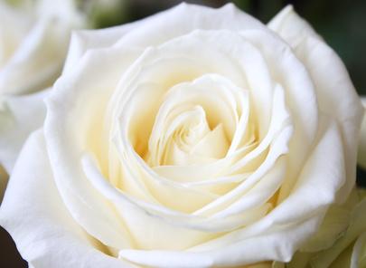 Rosa blanca hermosa