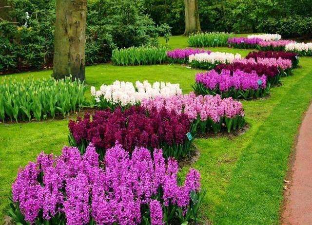 Imagenes de Jacintos flores de primavera
