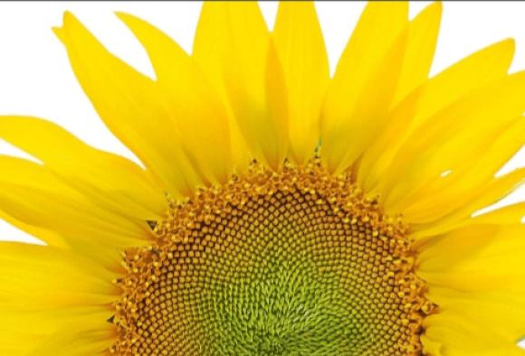 Imagen girasoles flores amarillas