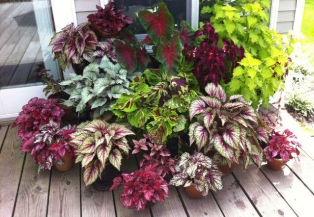 Imagenes de Planta Begonia Rex