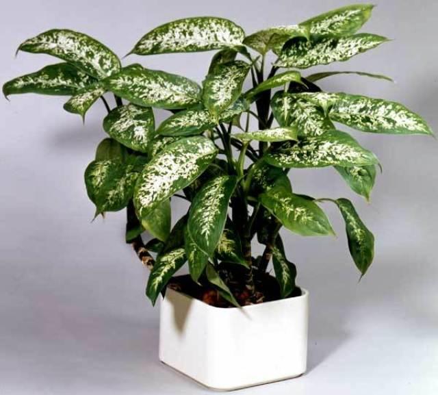 Imagenes de la planta Dieffenbachia