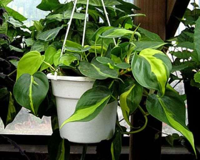 Imagenes de la planta Filodendro