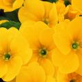 Imagenes De Flores Amarillas Para Facebook