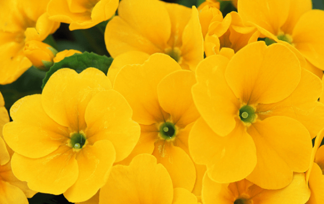Lindas imagenes de flores amarillas para fondo de celular