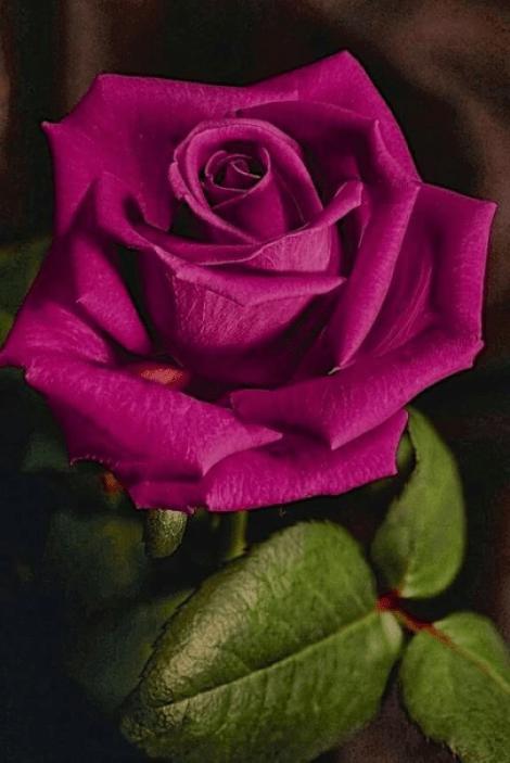Imagen de una bella rosa para enviar por whatsapp