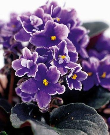 Planta pequeña con flores Violetas Africanas