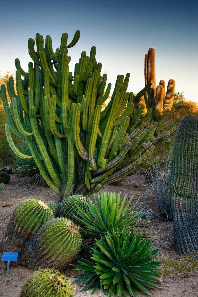 Imagenes de la vegetacion del jardin botanico del desierto en Arizona
