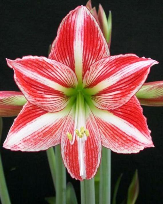 amarilis-las-mas-lindas-flores-para-navidad