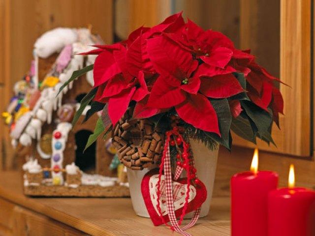 consejos-e-ideas-para-decorar-con-poinsettias-en-navidad
