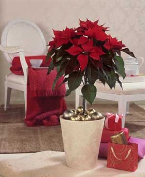 imagenes-de-decoraciones-con-flor-de-pascua