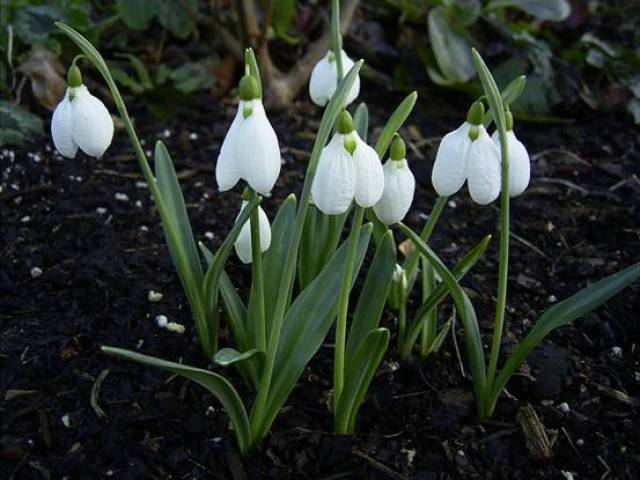 imagenes-de-flores-navidenas-galanthus-plicatus-tres-naves