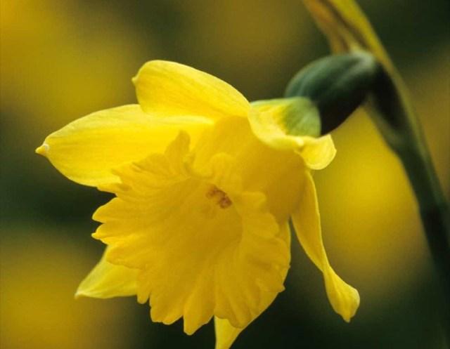 imagenes-del-narciso-cedric-morris-flor-de-nochebuena