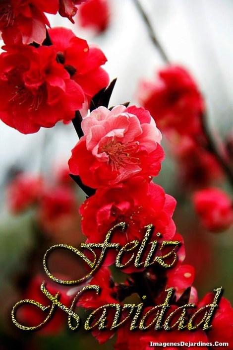 imagenes-para-dar-feliz-navidad-con-flores-rojas