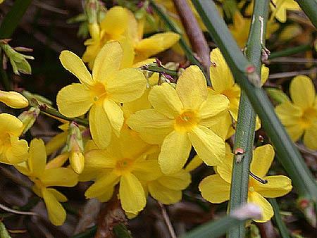 las-mejores-flores-para-la-navidad-el-jazmin-de-invierno