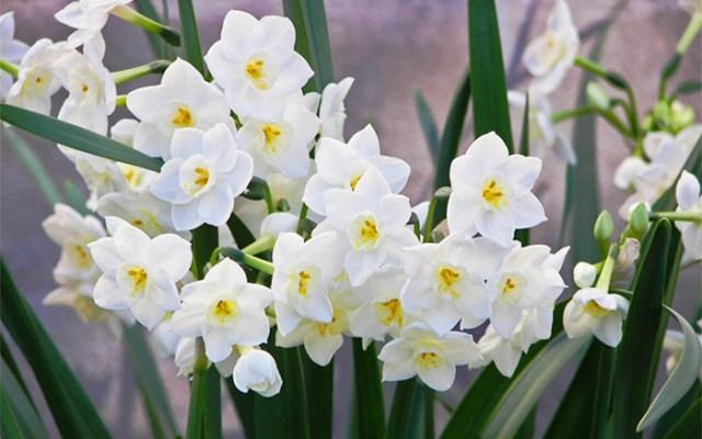 narcisos-imagenes-de-flores-de-navidad