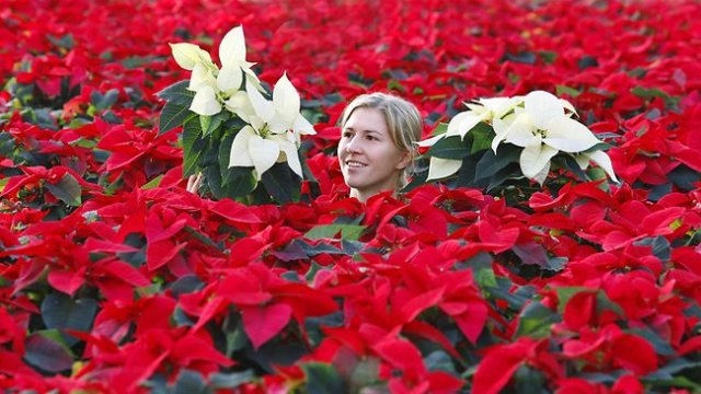 campo-de-poinsettias