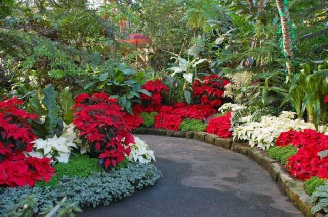 imagenes-de-jardines-con-poinsettias