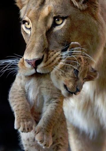 Imagenes de leonas con sus crias y cachorros enamorados