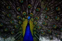Imagen de un Pavo Real macho con su cola de abanico extendida
