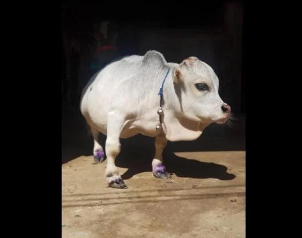 dwarf cow rani