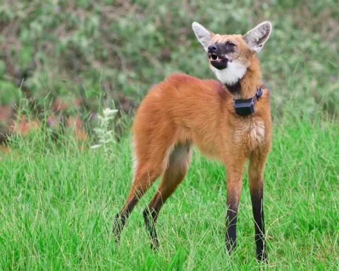Instituto Pró-Carnívoros,lobo-guará