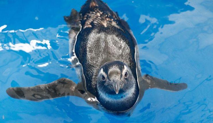 Pinguins reabilitação e de soltura.