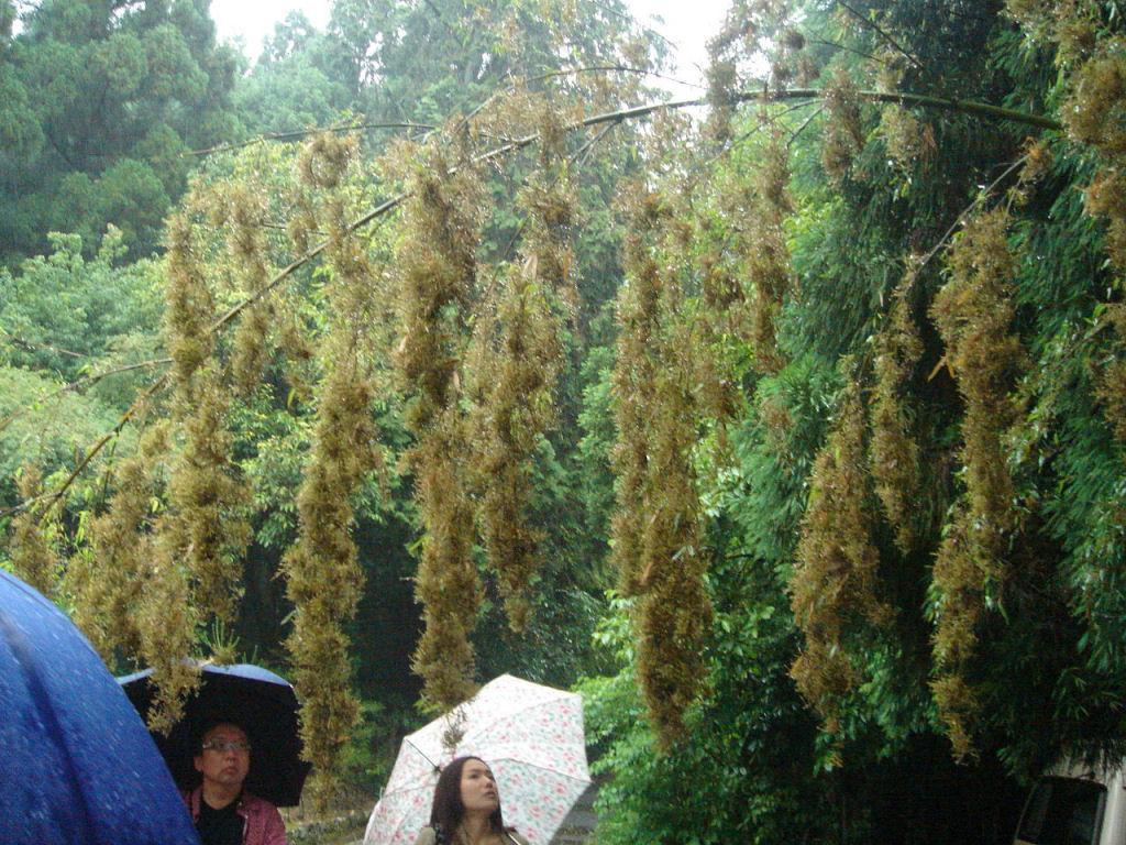 Conhece o misterioso fenômeno da florescência do bambu? 08