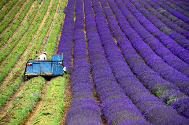 Hipnóticas fotos da colheita dos campos de lavanda 02