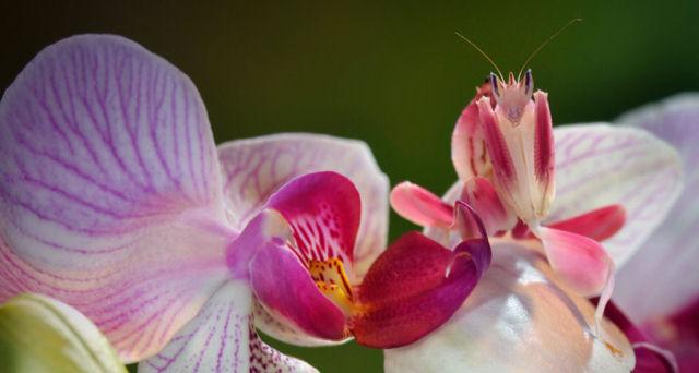 Resultado de imagem para louva a deus flor