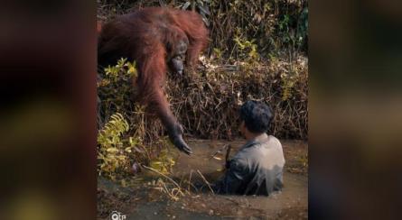 Resultado de imagem para Orangotango estende a mão para ajudar homem a sair de rio com cobras e foto viraliza