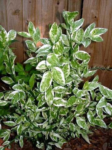 Комнатные Растения С Пёстрыми Листьями Фото И Названия