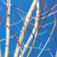 Red Tipped Branches