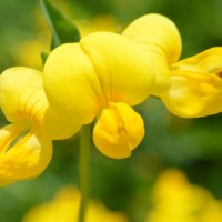 Pretty Yellow Trefoil